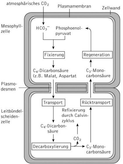 C4-Pflanzen - Kompaktlexikon der Biologie