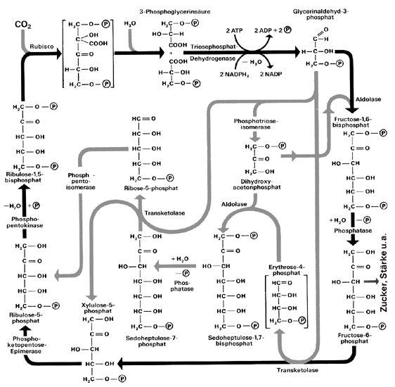 Calvin-zyklus: die reaktionsschritte des calvin-zyklus