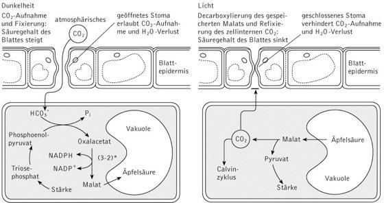CAM-Pflanzen - Kompaktlexikon der Biologie