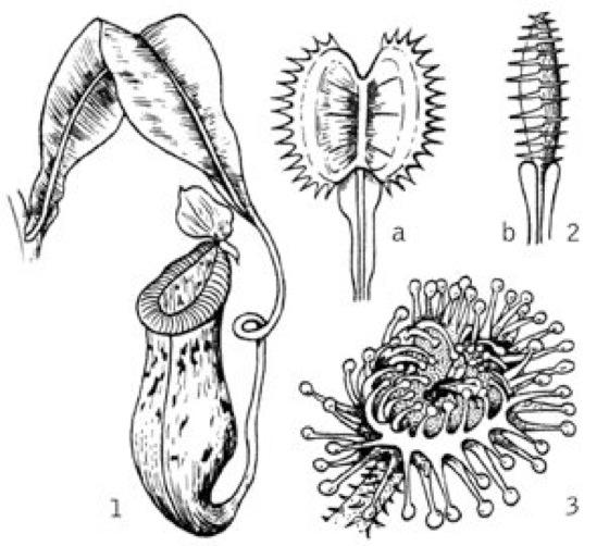 carnivore pflanzen kompaktlexikon der biologie. Black Bedroom Furniture Sets. Home Design Ideas