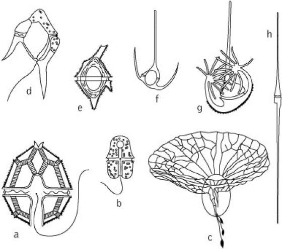 Dinophyta Kompaktlexikon Der Biologie