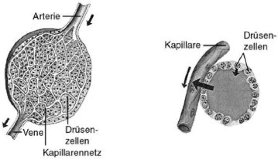 Drüsen - Kompaktlexikon der Biologie