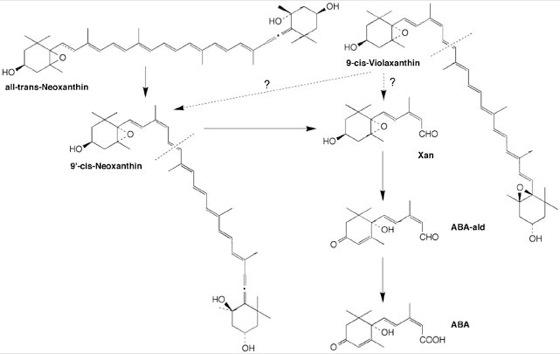 Abscisinsäure