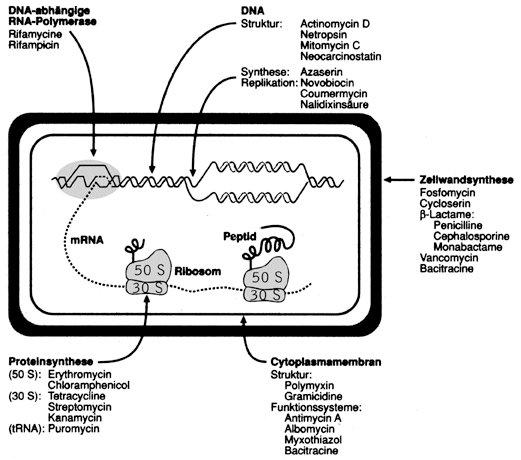 Antibiotika bakterienzelle schematisch mit angabe der angriffsorte