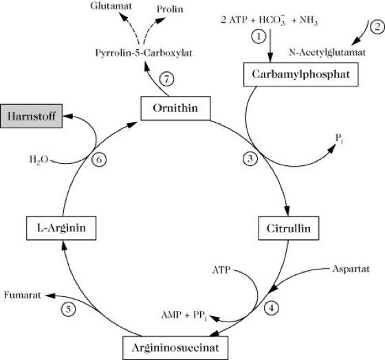 harnstoff-zyklus