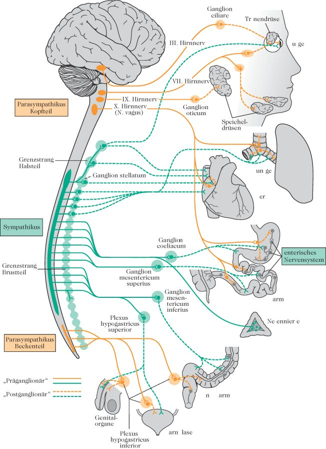 vegetatives Nervensystem - Lexikon der Ernährung