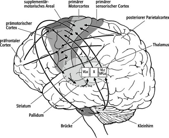 Willkürmotorik - Lexikon der Neurowissenschaft