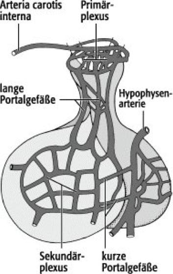 Pfortadersystem - Lexikon der Neurowissenschaft