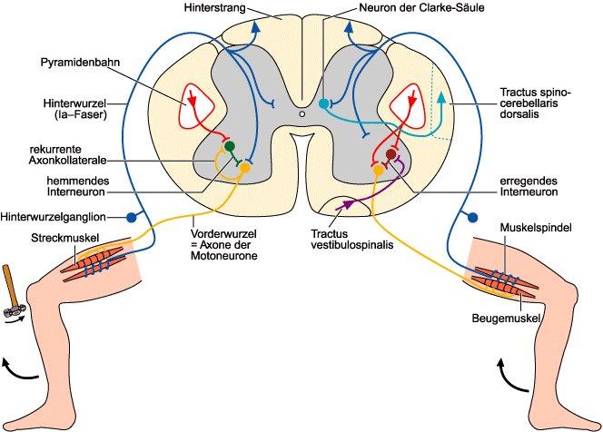 Rückenmark - Lexikon der Neurowissenschaft