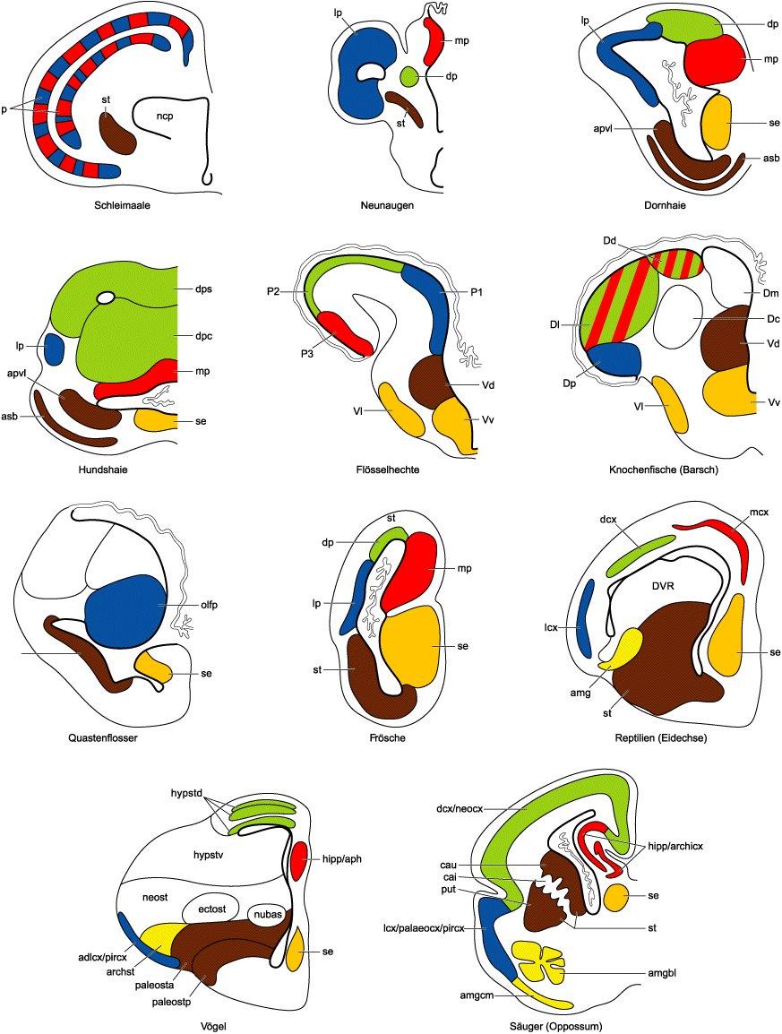Telencephalon - Lexikon der Neurowissenschaft