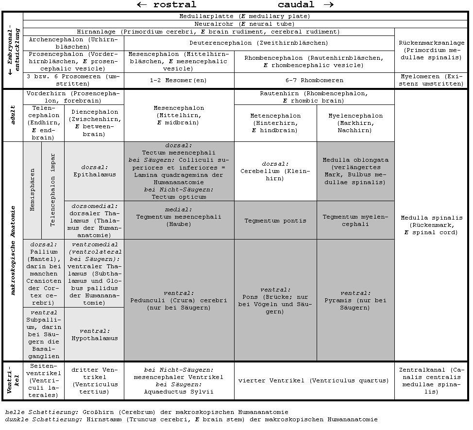 Chordaten-Nervensystem - Lexikon der Neurowissenschaft