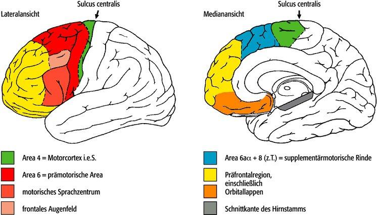 Frontallappen - Lexikon der Neurowissenschaft