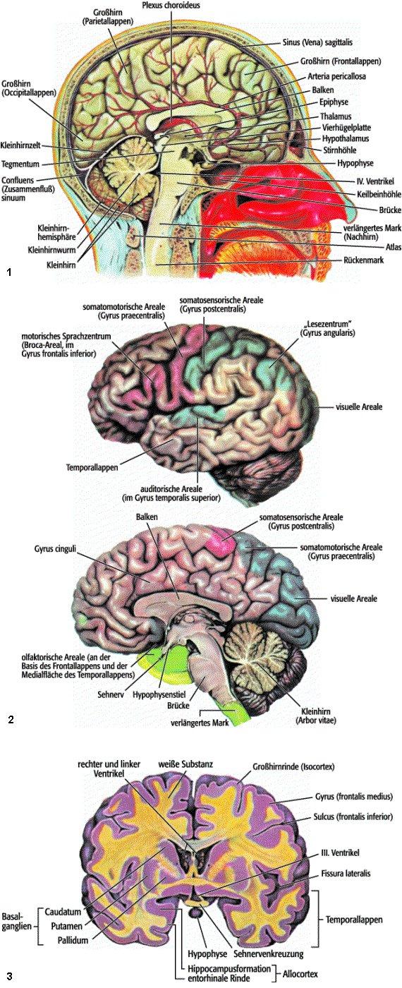 Gehirn - Lexikon der Neurowissenschaft