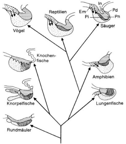 Hypophyse - Lexikon der Neurowissenschaft