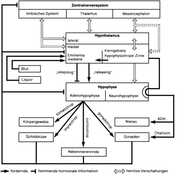 Hypothalamus-Hypophysen-System - Lexikon der Neurowissenschaft