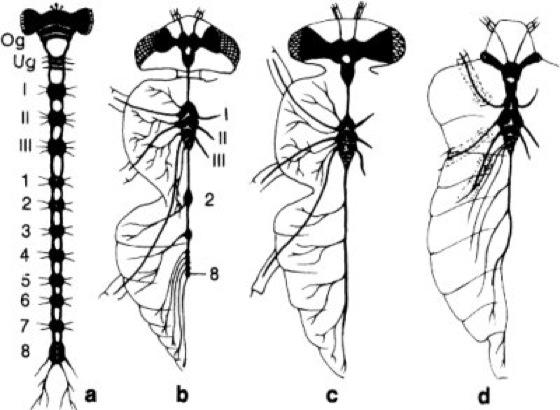 Insekten-Nervensystem - Lexikon der Neurowissenschaft