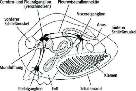 Mollusken-Nervensystem - Lexikon der Neurowissenschaft