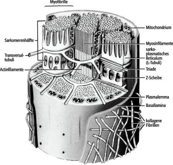 Muskelfaser