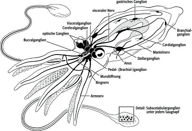 Gemütlich Krake Nervensystem Anatomie Zeitgenössisch - Anatomie Von ...
